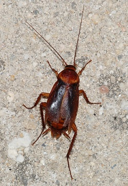 Cockroach_removal-auckland-pest-control