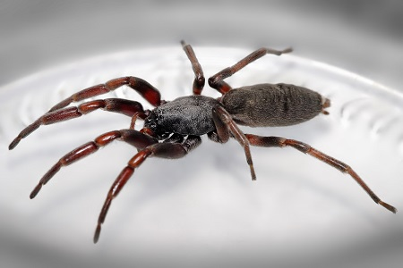 White_tailed_spider-remocal-auckland