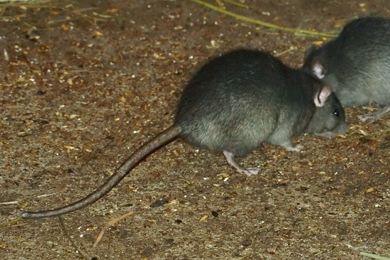rat-removal-auckland